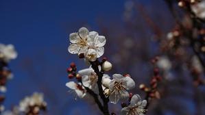 梅と河津桜 - 三歩進んで二歩下がる