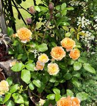 ブッシュの冬剪定♡マリールイーズドゥララメー、その他バラ達♫ - 薪割りマコのバラの庭