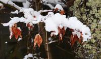 散りそこなったイロハカエデの紅葉に雪 - 軽井沢のニホンザル  軽井沢サル・ネット