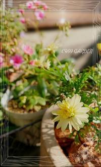 苔の花は「母の愛」 - どんぐりの木の下で……