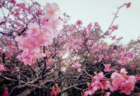 寒緋桜と鯨 - COLORCODE