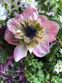 ANEMONE An Alice - Gardener*s Diary