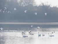 多々良沼の白鳥朝編9 - 光の 音色を聞きながら Ⅵ