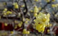 立春東風解凍(はるかぜこおりをとく) - 紀州里山の蝶たち