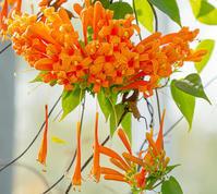 元気になるビタミンカラーのオレンジ色の花 - エーデルワイスPhoto