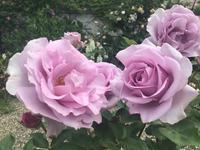 日本人作出の藤色のバラでオススメのもの - バラやらナンやら