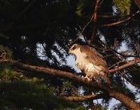 124年ぶり2/2の節分オオタカに遇いに行く今日の夕焼け20201/2/2 Tokyo - むっちゃんの花鳥風月  ( 鳥・猫・花・空・山 )