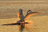 みちのく白鳥たち19 - みちのくの大自然