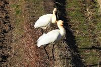 田圃にヘラサギが2羽来てました! - なんでもブログ2