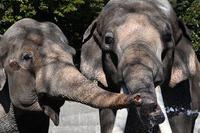 インドゾウ - 動物園へ行こう