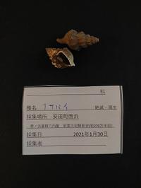 貝殻化石。 - 古道具ときどき猫。