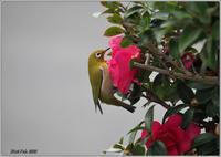 山茶花メジロ - 野鳥の素顔 <野鳥と日々の出来事>