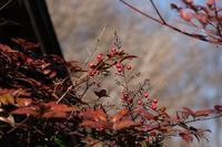 ■赤い実21.2.2(南天、万両、吉祥草) - 舞岡公園の自然2