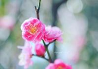 梅がチラホラ - カンパーニュママの一眼レフ生活とポメプーころすけと日々の出来事日記