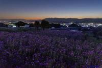 コスモス咲く夜明け - katsuのヘタッピ風景