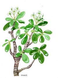 金のなる木のかわいい花 - がちゃぴん秀子の日記