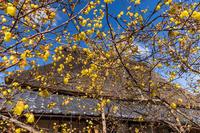富田邸の蝋梅2021(城陽市) - 花景色-K.W.C. PhotoBlog
