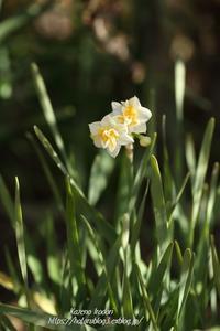 群馬フラワーハイランド#2春告げ花 - 風の彩りー3