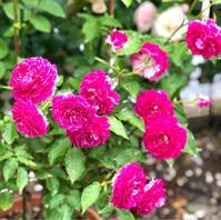 ブッシュの冬剪定♡〝シェエラザード〟〝シークレットパヒューム〟(旋律、しらたま、) - 薪割りマコのバラの庭