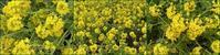 菜の花といちごで春♪ - 日々の雑記ノオト