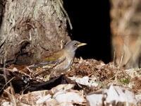 落葉の中にシロハラを見つけた - コーヒー党の野鳥と自然パート3