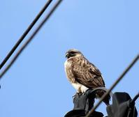 ノスリが電柱に・・・ - 一期一会の野鳥たち