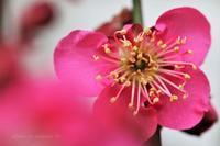 立春過ぎたら紅梅も咲きだしています(*^-^*) - 自然のキャンバス
