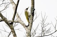 アオゲラさんが2羽!! - 鳥と共に日々是好日②