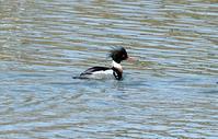水辺の鳥✴️定点鳥見♬ - 気ままなお喋り
