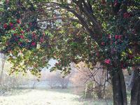 多々良沼の山茶花1 - 光の 音色を聞きながら Ⅵ