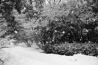 雪の花が一瞬で咲き一瞬で消えていった、朝の散歩。20210205 - Yoshi-A の写真の楽しみ