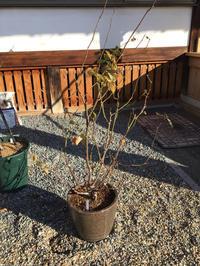 バラの剪定と3年目の植物の株分け - バラやらナンやら