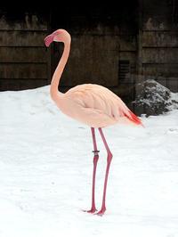 雪の中のフラミンゴ - 動物園放浪記