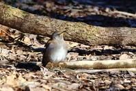 冬の森の水場の鳥達 - 銀狐の鳥見