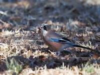 ドングリを拾っていたカケス - コーヒー党の野鳥と自然パート3