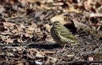 隣県の里山公園で ビンズイに出逢う - 私の鳥撮り散歩