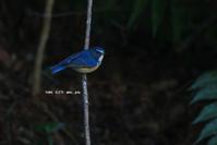 # ルリビタキ(クールな子)、シロハラ - TORI たどり (小鳥、わんこ、写真 ♥)