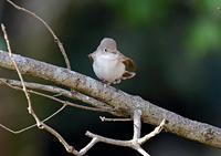 今季も渡来、ニシオジロビタキ - THE LIFE OF BIRDS ー 野鳥つれづれ記