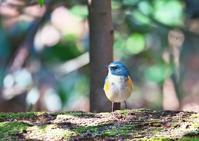 ルリビタキ - くまさんの二人で鳥撮り