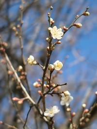 梅ノ木のウメノキ・・・つぎは、栃餅をつきます! - 朽木小川より 「itiのデジカメ日記」 高島市の奥山・針畑からフォトエッセイ