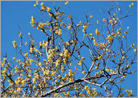蝋梅が見頃になってる - 野鳥の素顔 <野鳥と日々の出来事>