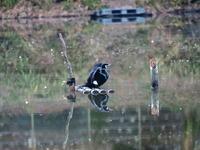 カワセミ沼~カワセミ広場にて2/7 - 青い鳥を探して