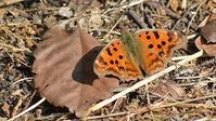 今日は越冬蝶のみ - 2021 浅間暮らし