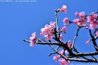 沖縄の桜「ヒカンザクラ」那覇でも見頃です - ワタシの旅じかん Go around the world!