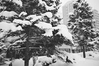 エゾマツの雪とプラタナスの雪 - 照片画廊