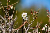 梅が咲き始めました - - 光景彡z工房 - ◇ SeasonⅢ ◇