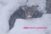 雪が苦手なのは・・・。 - 野鳥のさえずり、山犬のぼやき