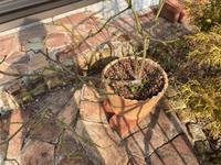 薔薇の寒肥と土替えをやってみたよ① - へい まささん の ひとりごと
