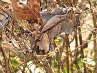 越冬中テングチョウ - 秩父の蝶