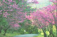 寒緋桜トンネル - COLORCODE